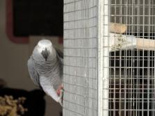 papagalo